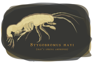 Researchers found evidence that a tiny, blind, endangered crustacean still inhabits some groundwater habitats in Washington, D.C.'s Rock Creek Park. Graphic by Julie McMahon